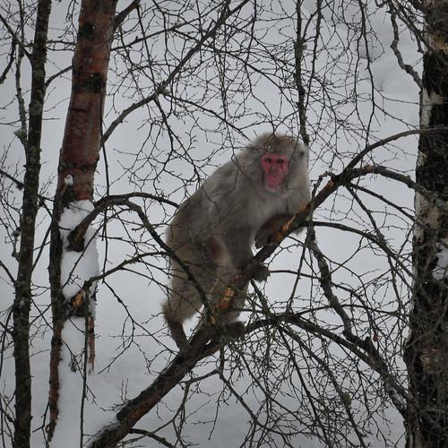Macaque #4