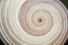 Concha espiral