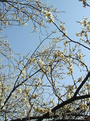 DSC07914.JPG (chinitanglatina) Tags: flowers nature japan spring ome ume yoshino plumblossoms umematsuri