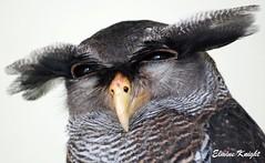 Malay Eagle Owl (ek'nmy) Tags: nature nikon malaysia owl birdpark d80 bubosumatrana malayeagleowl tamanburung sigmaapodg thewonderfulworldofbirds