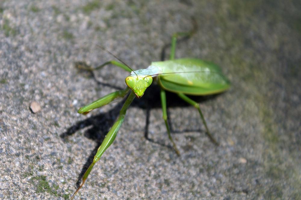 大崙頭尾017 螳螂
