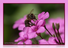BUZZ BUZZ- I AM BUSY IN PINK-BUZZ BUZZ BUZZ (cathezplace/visiting for a bit- be back when winte) Tags: pink cats flower nature animal fauna squirrel feline wildlife bee tuxedocat bbf colorsofthesoul dragondaggerphoto