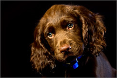 Curious (andrewwdavies) Tags: shadow dog pet brown cute green woof beautiful umbrella puppy big eyes chocolate hound convertible ears canine double explore sleepy age tired spaniel fold cocker pup westcott satin onsale liver warmup softbox bounce 43 thebeast fill gundog sadface onblack 10weeks hotshoe wetnose 24inch canonspeedlite430ex offcameraflash explored pocketwizard canonef24105mmf4lisusm 43inch strobist plusii canon40d canonspeedlite580exii colourtemperatureorange 14cto andrewwilliamdavies ezfold
