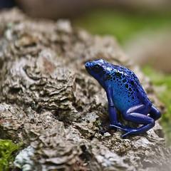 bluefrog_7B9A1594 (Niklas_N) Tags: blue frog diamondclassphotographer flickrdiamond