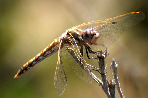 Variegated Meadowhawk female