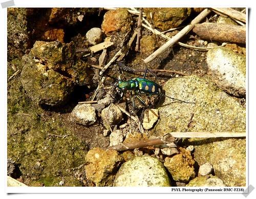 Cicindela aurulenta - 八星虎甲蟲