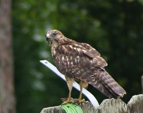 Hawk3863