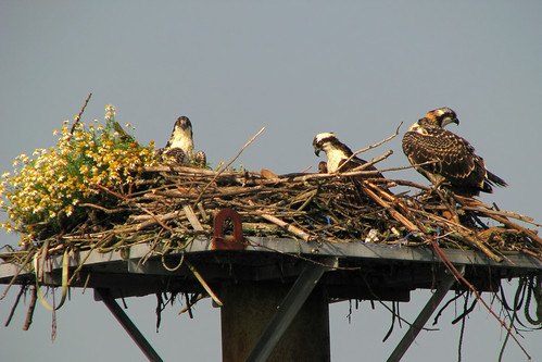 Osprey family with their own flower garden