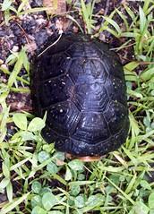 Turtle_8309b