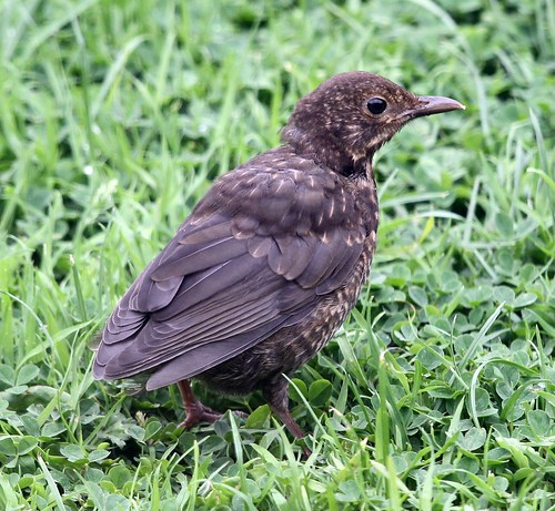 Tail-less Juvenile Blackbird