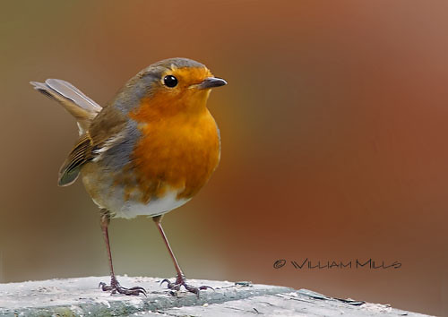Red Red Robin.....