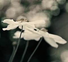 anemone (lesbru) Tags: d300 japaneseanemone eveninggarden softandsmoky