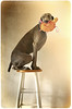 cirque du weimaraner (saikiishiki) Tags: portrait dog cute art love toy turtle circus posing explore weimaraner talent kawaii expressive form stool seen 2009 balancing act talented multitasking ♥ omoshiroi weim mukha 20f 3452 thelittledoglaughed 52weeksfordogs texturebylesbrumes~~thanksagain 52weeksofmukha