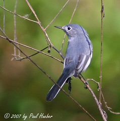 Blue-gray Gnatcatcher (Polioptila caerulea) (Paul Hueber) Tags: bird nature birds canon florida wildlife aves ave handheld avian gnatcatcher seminolecounty altamontesprings centralflorida bluegraygnatcatcher polioptilacaerulea lakelotus lakelotuspark bggn musicarver