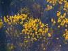 Yellow Petal Explosion (Reinalasol) Tags: flowers flores flower nature yellow garden petals flora flickr flor april panama 2009 chirriqui petales april2009 panama2009 reinalasol