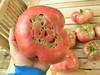 Cherokee Purple 2 lbs (boisebluebird) Tags: plants vegetables garden tomato gardening harvest boise heirloom heirloomtomato cherokeepurple michaeltoolson boisebluebirdcom httpwwwboisebluebirdcom boiselandscaping boisegardener