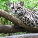 cross-eyed margay