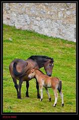 Amor de madre (Jcarlossoto) Tags: summer espaa horse mountain canon caballo spain asturias verano montaa nueva llanes norte potro yegua picosdeeuropa equino 50d