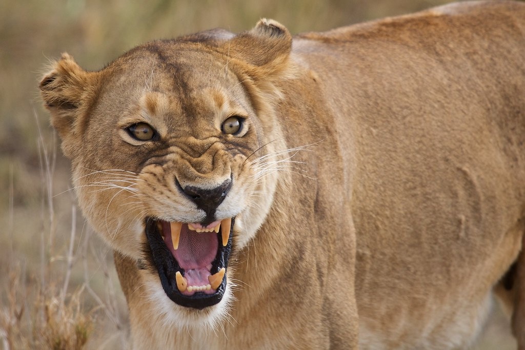 angry lioness - photo #19