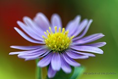 aster in a windy day-FP (NURAY YUZBASI) Tags: red macro green yellow closeup turkey garden dof purple blossom bokeh details 100mm explore frontpage ankara aster asteramellus canonef100mmf28macrousm mywinners canonrebelxti anawesomeshot theunforgettablepictures saraypat 100commentgroup saariysqualitypictures onfrontpage autumn2009 superstarthebest yldzpat