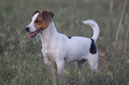Jack Russel Terrier by Cani.com
