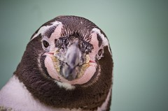 [フリー画像] [動物写真] [鳥類] [ペンギン] [フンボルトペンギン]       [フリー素材]
