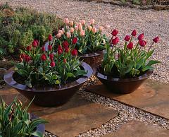 34066 (Clive Nichols) Tags: beauty urn bulb bronze barn garden spr