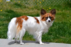 Cody (Pappup2010) Tags: whiteandsable white toybreed toy small sable puppy pup pet papillon pap dog cute color canine butterflydog butterfly breed black animal