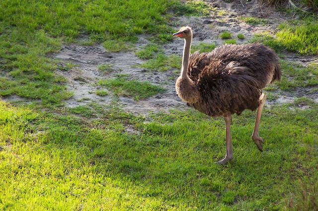 animals ostrich