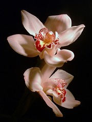 ~ a heavenly pair of white orchids ~ (^i^heavensdarkangel2) Tags: flowers light black macro nature closeup lite colorado fuji shadows darkness pair angels elite heavenly visualart whiteflowers heavensent blueribbonwinner whiteorchids supershot flowerscolors fineartphotos hairygits beautifulexpressions fujifilmfinepix3800 diamondclassphotographer frhwofavs heavensdarkangel theunforgettablepictures angelwhite theperfectphotographer goldstaraward wonderfulworldofflowers rubyphotographer desbahallison heavensdarkangel2