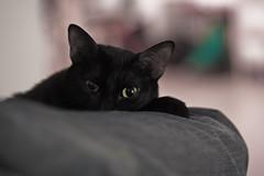 Chatte (mnpix) Tags: cat canon chat chatte vob matthieunicolas viewonblack eos40d mnpics mnpix
