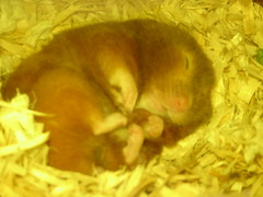 How Sweet (bleudreams) Tags: hamsters smallanimals