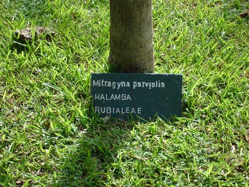 mitragyna  Mitragyna parviflora picture photo bild