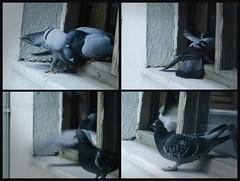 Soğuk Savaş / Cold War (Züleyha Sucu) Tags: cold bird window animal turkey zoo war dove türkiye istanbul lovely kuş güvercin soğuk hayvan otw savaş pencere hayvanat fotoğrafkıraathanesi aplusphoto thewonderfulworldofbirds