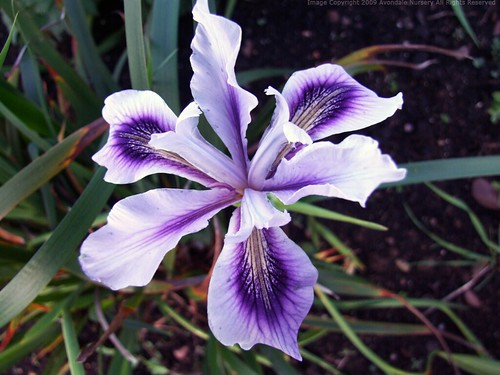 IRIS 'Banbury Beauty'