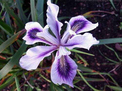 IRIS 'Banbury Beauty'