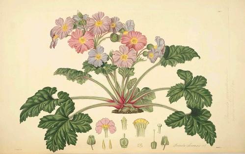 Primula Sinensis