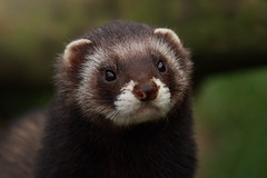 polecat portrait 3 (felt_tip_felon) Tags: portrait nature mammal nose eyes wildlife whiskers bwc polecat ar1 britishwildlifecentre impressedbeauty