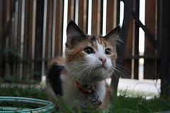 Celeste! (Mara Loreto ) Tags: kitten kat kitty gato gata katze gatito celeste kissablekat bestofcats catnipaddicts takenbymarcolara