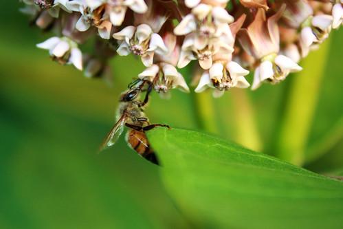 Bee & Milkweed