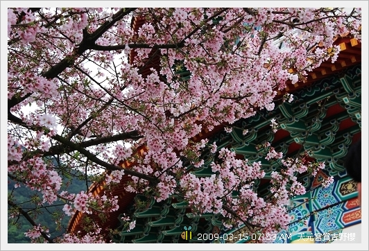 09.03.15 天元宮賞吉野櫻 (21)
