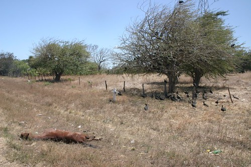 Hundreds of vultures were having a (dead horse) feast that day! Disgusting and very foulsmelling...