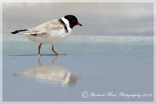 Hooded Plover reflections - Thinornis rubricollis - IUCN Near Threatened