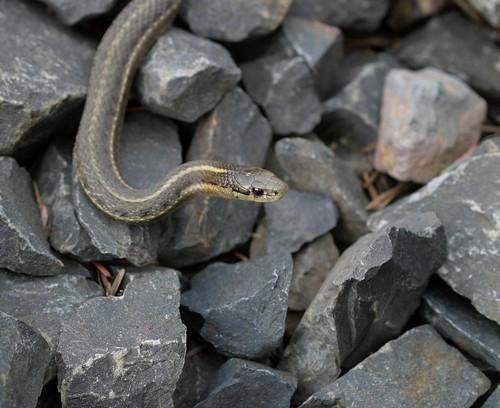 comes Garter+snake+morphs