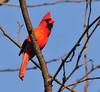 Alert and In Love (ozoni11) Tags: bird nature birds animal animals interestingness spring nikon cardinal explore ornithology cardinals 484 d300 passerine passerines interestingness484 i500 michaeloberman explore484 ozoni11
