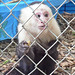 Capuchin Housed Alone