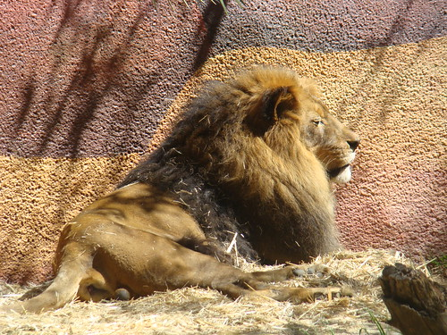 African Lion at the Los Angeles Zoo