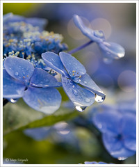 Tussen de buien door...... (Marjo1963) Tags: flowers rain drops raw juli 2009 bloemen hortensia abigfave theunforgettablepictures adrinnesmagicalmoments