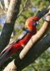 Crimson Rosella (caity08) Tags: blue red baby green bird crimson parrot nsw rosella specanimal