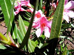 Pink Oleander foto druida